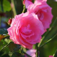 初冬の薔薇・ラビニア