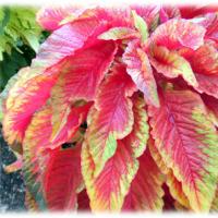秋の到来を感じさせる…(^^♪葉を観賞するケイトウという意味「ハゲイトウ(葉鶏頭、雁来紅)」