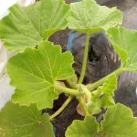 えびすカボチャの芽カキ