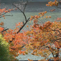 桜の紅葉…