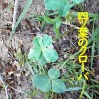 花図鑑144四ツ葉のクローバ