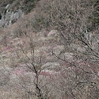 湯河原梅林(2)