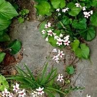「ヒメヒオウギ」今年はなぜだか 白花ばかり