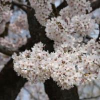 長いこと見られた桜。