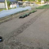 ブロッコリーの畑作り