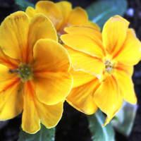 早春を告げる花‥③