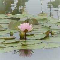 水面に咲く幻想的なお花・・・