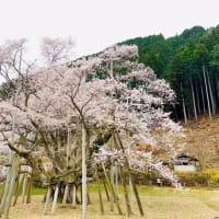 根尾谷淡墨桜を見に行きました。