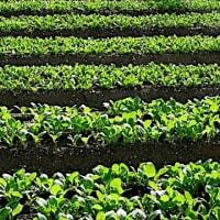 (3-1/3)自然栽培の重要性(自然栽培野菜の素晴らしさ)