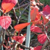 べりーべりーな紅葉