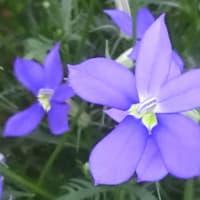ローレンティアフィズアンドポップの花は