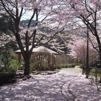 今年最後の桜かな?
