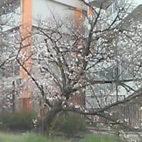 玉串川の桜も車窓から
