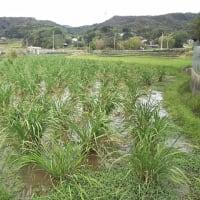 マコモタケの収穫真盛り