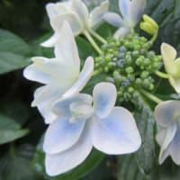 紫陽花「コンペイトウブルー」 3