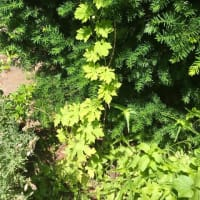 「樹木は、若いと同時に老いており、死んでいると同時に生きている」 ファーブル植物記より