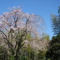 「日本庭園」/昭和記念公園(2019春)