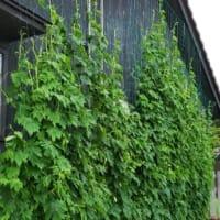 幅7m×高さ5mの緑のカーテンは