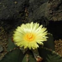 咲くやこの花館 ぶらぶらフォト~ 乾燥地植物室編