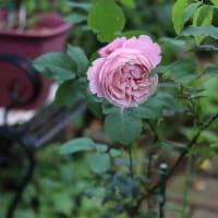 猛暑の季節の2番花