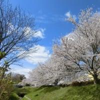 友達と散策  満開の桜