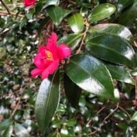 椿も咲いて春の足音がもうすぐ・・・
