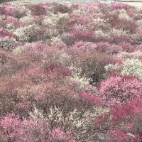 三重県 いなべ梅林公園