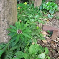 八丈島で出会った植物