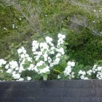 オオテマリ(大、手毬)の花が咲きました!