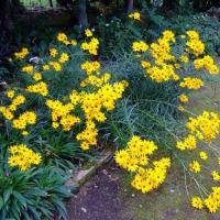 立山連峰のご来迎と庭花たち