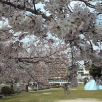 桜「ソメイヨシノ」満開