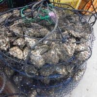 芦北真牡蠣情報