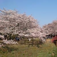 小山城の桜