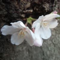 """""""桜の花ののっぱら"""" 敗戦の年の""""お花見"""