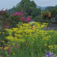 ブッドレア トケイソウ アメリカフヨウ オミナエシ スイートアリッサムの花