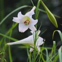 タカサゴユリの開花