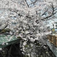堀川沿いの桜2011 3