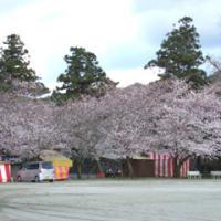 桜最前線 一家の大黒小柱のおやじブログ