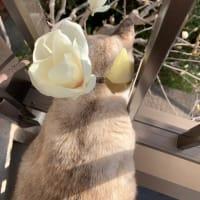 木蓮が満開