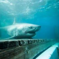 "【cnn】   5月22日11:53分、""""米東岸にホオジロザメ出現、研究者が追跡中の個体"""""