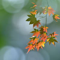 「木漏れ日に揺れて」 いわき 夏井川渓谷にて撮影! 染め始めの椛