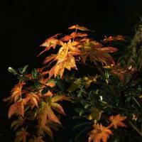 池畔の紅葉 ヤマモミジ