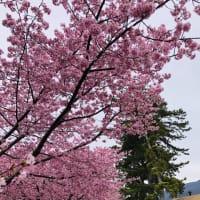美和桜(河津桜)