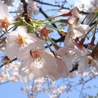 一瞬の春〈2010年 今年の桜 ~実家近辺にて~〉