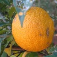 ユズ 柑橘類