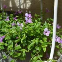 スーパートレニアなど可愛い花が咲いています~ & 手作りバッグも~♪