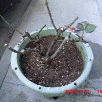 バラの植え替え。