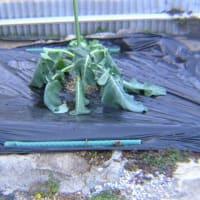ブロッコリーの収穫と移植
