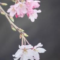 桜巡礼 2020 VOL.3