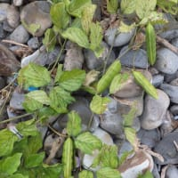 海岸に豆科の植物!